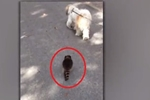 A Dog Finds an Unusual Walking Partner. You Won't Believe Who Joins Him!